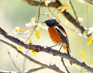 香格里拉飞羽天堂 每日观鸟台 白喉红尾鸲